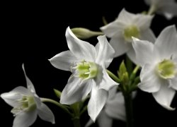 Fototapeta 254x184 4-259 Lilia Madonna Kwiaty Natura