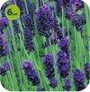 Lawenda Sentivia Blue 6 sztuk