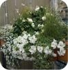 Conchita Grande White 6 sztuk