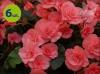 begonia jasnoróżowa allegro