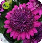 Osteospermum pełne purpurowe 6 sztuk