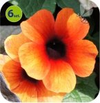 Thunbergia Red Orange 6 sztuk
