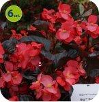 Begonia Big Deluxxe czerwona z ciemnym liściem 6 sztuk