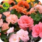 Begonia Bulwiasta sunrise mix 6 sztuk