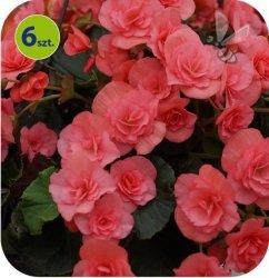 Begonia Solenia Lt.Pink 6 sztuk