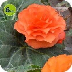 Begonia Bulwiasta pomarańczowa  6 sztuk