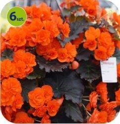 Begonia Solenia Orange 6 sztuk