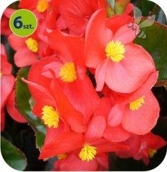 Begonia Dragon czerwona 6 sztuk