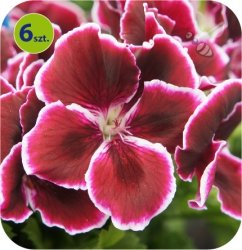 Pelargonia angielska Red Beauty  6 sztuk
