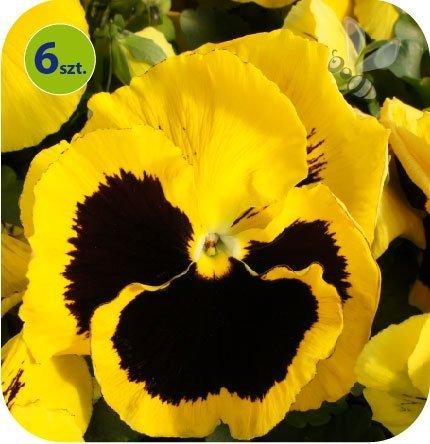 Bratek Yellow with blotch 6 sztuk