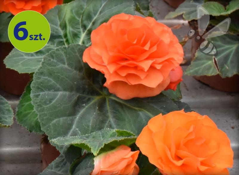 begonia bulwiasta pomarańczowa