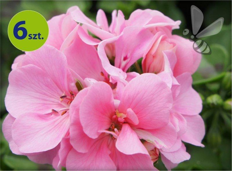 pelargonia wisząca różowa_allegro