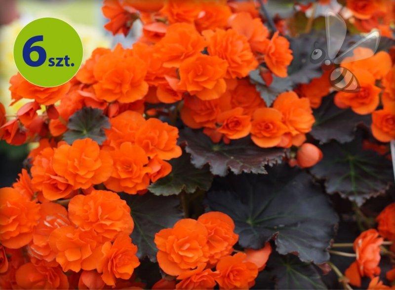 begonia pomarańczowa allegro