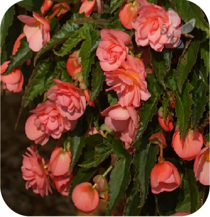 Begonia Belina Pink 6 sztuk