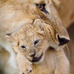 Karnet kwadrat z kopertą Lioness and cub