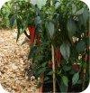 Papryka chili Fireflame