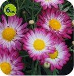 Margarytka Rose Bicolor 6 sztuk