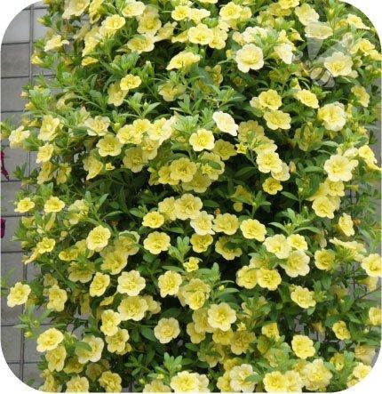 calita pełna żółta