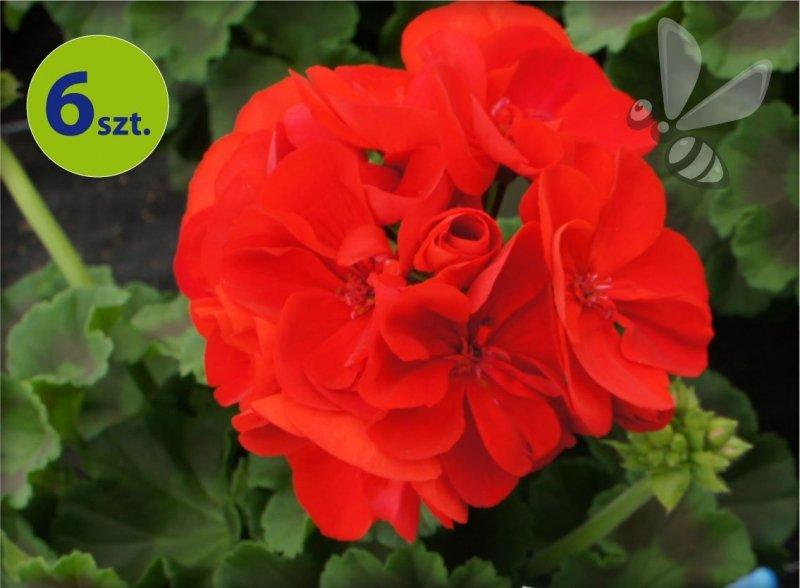 Pelargonia rabatowa czerwona 6 sztuk