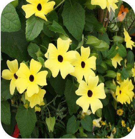 Thunbergia Yellow Dark Eye 6 sztuk