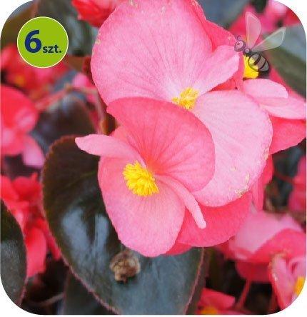 Begonia Dragon różowa 6 sztuk
