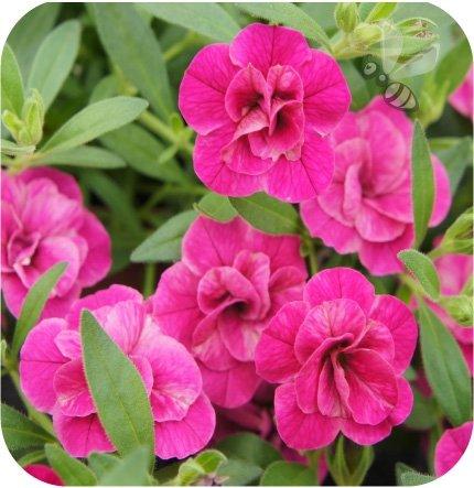 calita pełna różowa