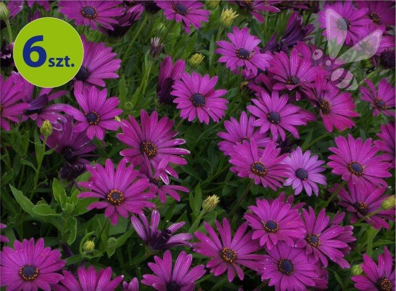 osteospermum purpurowe_allegro