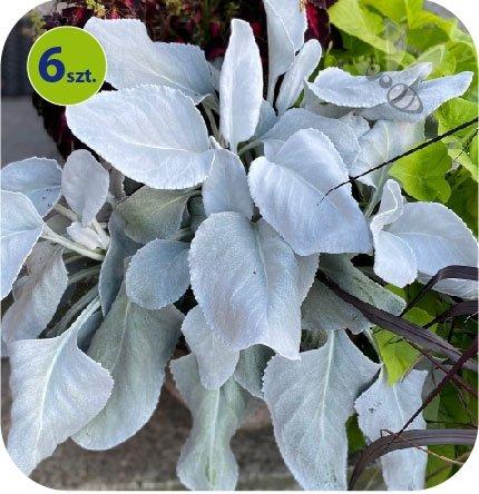 Helichrysum Angel Wings 6 sztuk