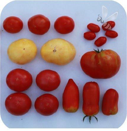 Pomidor szczepiony Cornabel