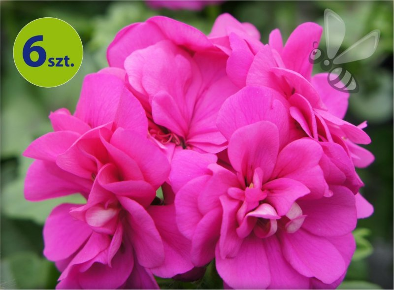 pelargonia wisząca fioletowa_allegro