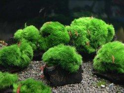 5 Kawałków Lignitu i Gałęzatka Skałki