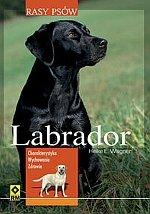 Labrador rasy psów