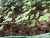 Gorczyca poplonowa/miododajna odmiana Biała