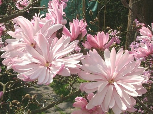Magnolia ×loebneri 'Raspberry Fun'