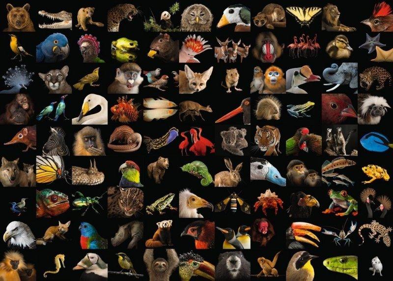 Puzzle 1000 Ravensburger 159833  Zwierzęta - Kolaż
