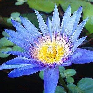Blue Lotus Attar 1 ml perfumy bezalkoholowe próbka