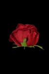 Róża VELVET wyrobowa rozwinięta