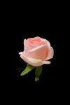 Róża wyrobowa - 20TJ040