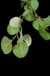 Gałązka eukaliptusa - 20TJ089