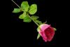 Róża pojedyncza MIX