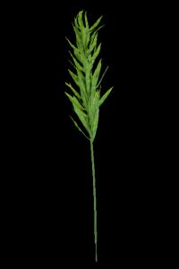 Gałązka trawy