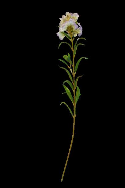 Oleander - 99/057