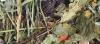KORONA NATURY Mieszanka - Świnka morska 750g