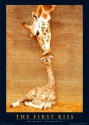 Żyrafy Pierwszy Pocałunek - plakat
