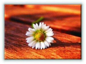 Stokrotka. Kwiat - Obraz na płótnie