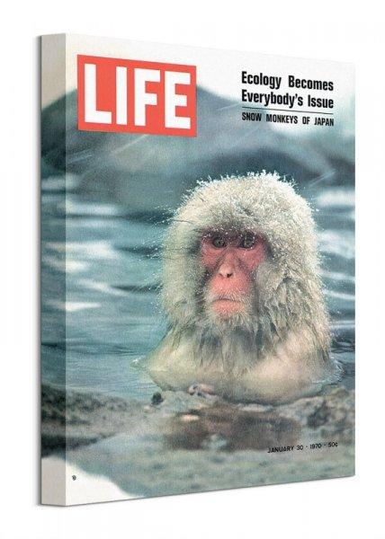 Snow Monkeys of Japan - obraz na płótnie