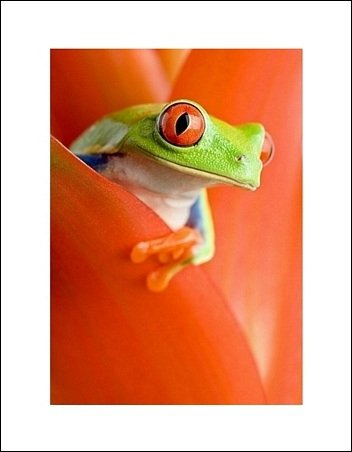 Żaba w Kwiecie - plakat premium