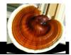 Lakownica Lśniąca grzybnia