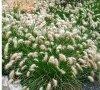 Kwitnąca trawa do ogrodów japońskich