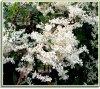 Ekspansywne pnącze o białych kwiatach zastosowanie